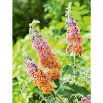 Buddleja dav. Plant - Flower Power