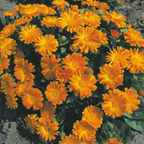 Calendula Seeds - Daisy May