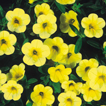 Calibrachoa Plants - Carnival Sun