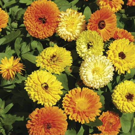 Calendula Seeds - Fiesta Gitana Mixed