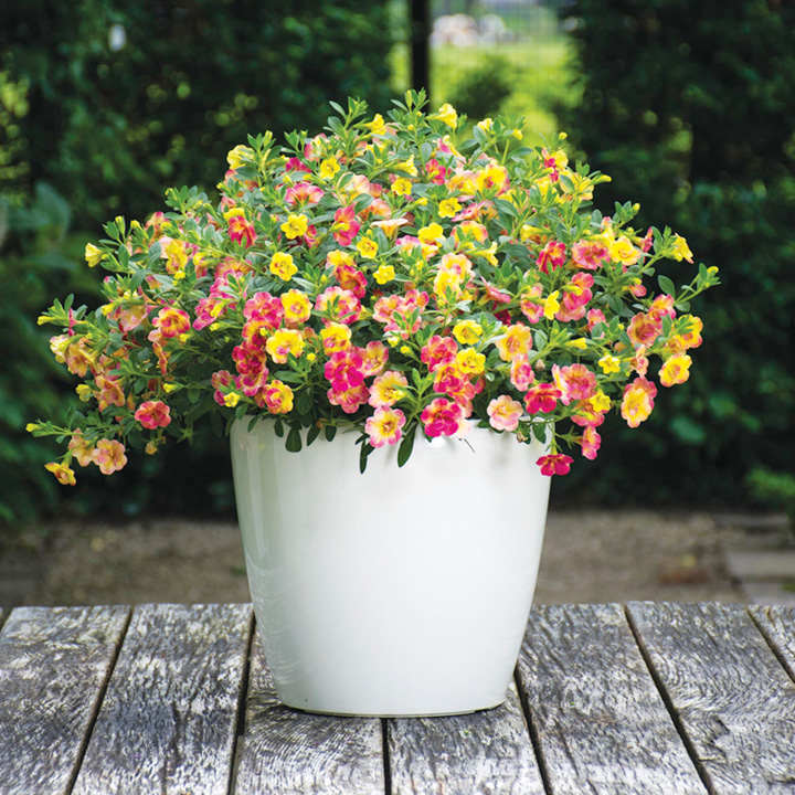 Calibrachoa Plants Chameleon Flowers For Hanging
