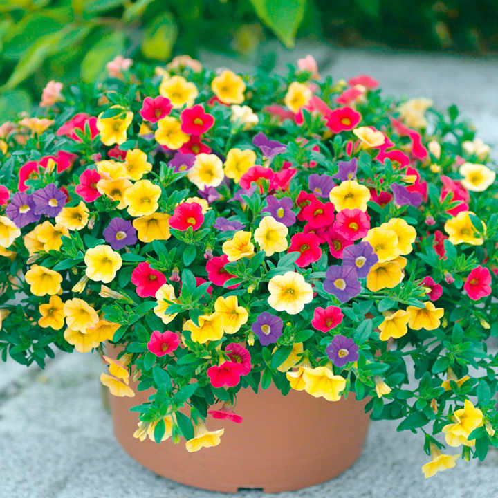 Calibrachoa Plants - Carnival Mix