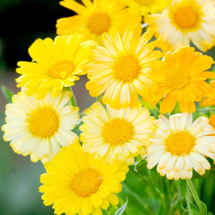 Calendula Seeds - Citrus Daisy Mixed