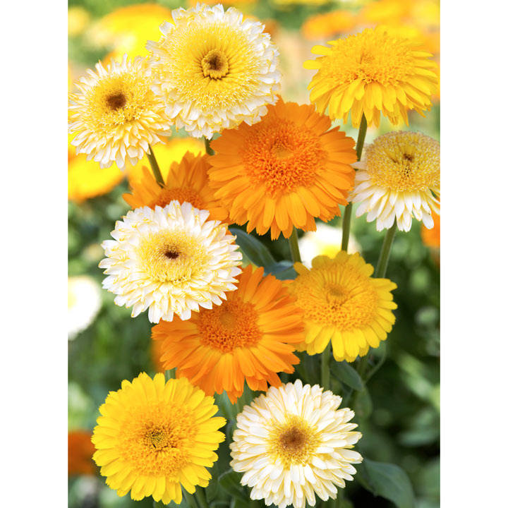 Calendula Seeds - Kinglet Mixed