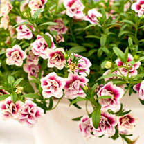 Calibrachoa Plants - M.F. Double Pinktastic
