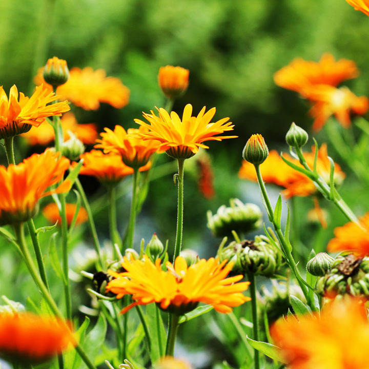 Calendula (Organic) officinalis Seeds
