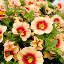 Calibrachoa Plants - Orange Red Eye