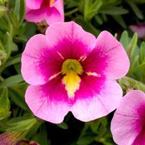 Calibrachoa Plants - Bumblebee
