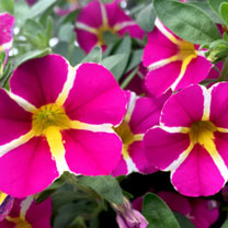 Calibrachoa Plants - Rave Pink