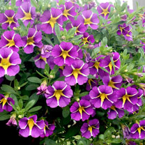 A superb variety that will be smothered in striking single, petunia-like flowers with a yellow star during the summer months. Suitable as a trailing g