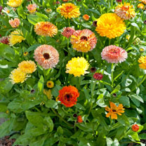 Calendula Seeds - Playtime Mixed F1