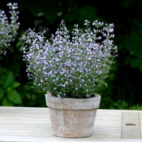 Calamintha Plants - Marvelette Blue