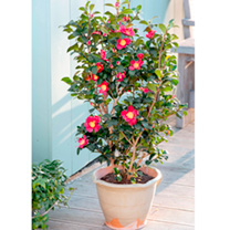 Image of Camellia Plant - Yuletide