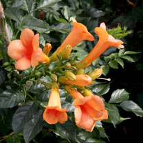 Campsis t. Plant - Indian Summer