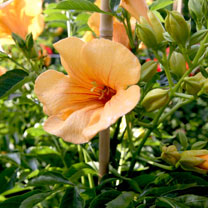 Campsis t. Plant - Summer Jazz Gold