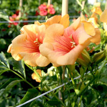 Campsis t. Plant - Summer Jazz® Gold