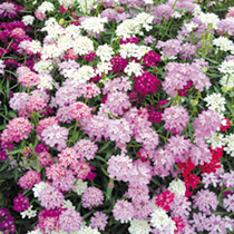 Regretfully, many candytuft mixtures have regressed to being almost lilac and white through lack of selection, Candycane however has been re-selected