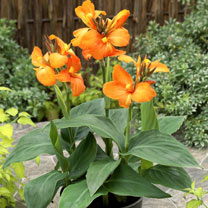 Canna Plant - Cannova Orange