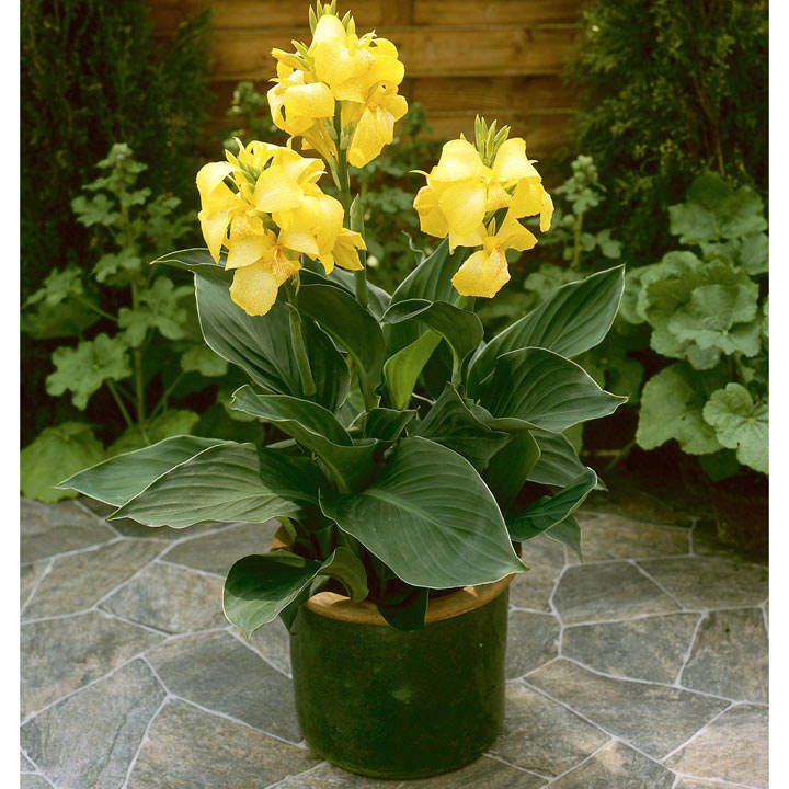 Canna cannova yellow all flower plants flower plants flowers canna plant cannova yellow mightylinksfo