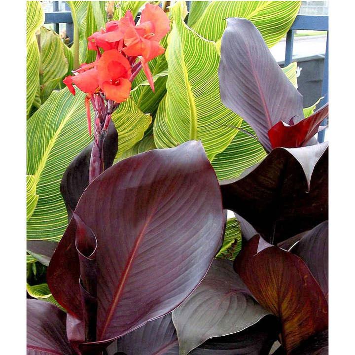 Canna Plant - Tropicanna Black
