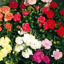 Dwarf, compact, plants producing numerous stems topped with fully double flowers, in a display that will continue non-stop throughout the whole summer