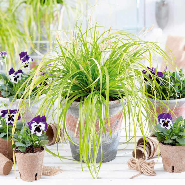 Carex Plant - Everillo