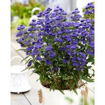 Caryopteris cland. Plant - Grand Bleu