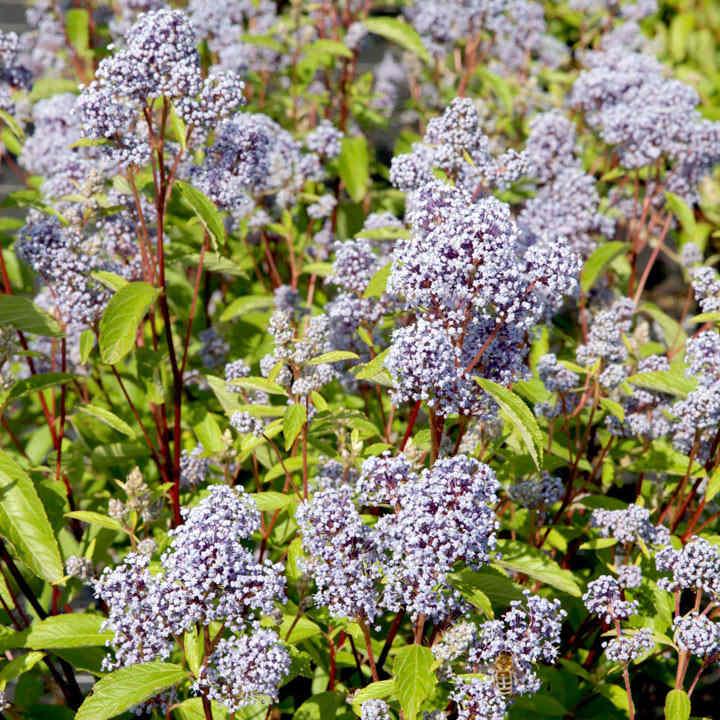 Ceanothus pallidus 'Marie Bleu'® NOBLE®