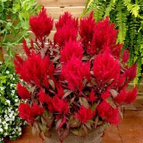 Celosia Plants - Dragon's Breath