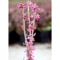 Cercis chinensis Plant - Avondale