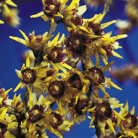 Chimonanthus praecox Plant