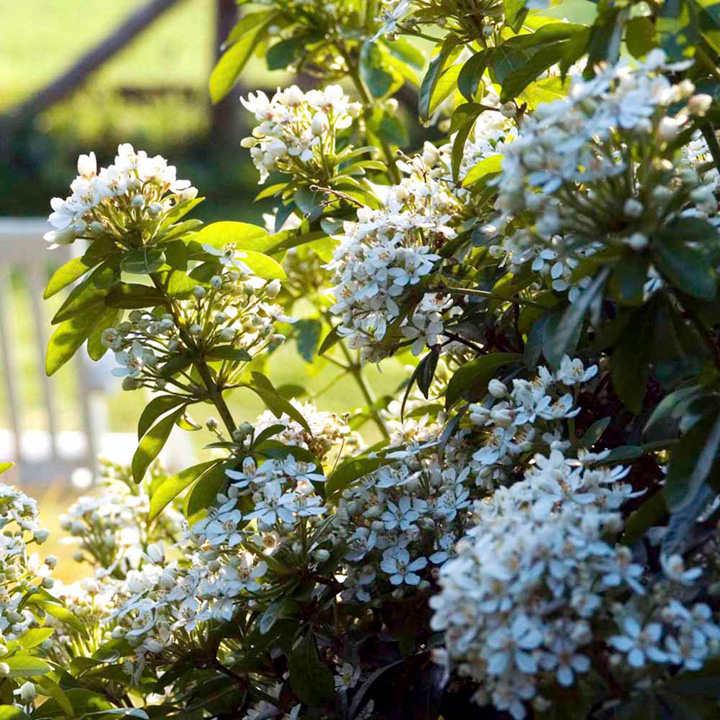 Choisya Plant - Ternata