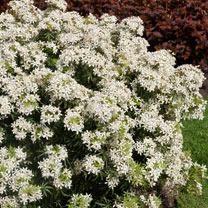Choisya ternata Plant - White Dazzler®