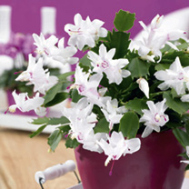 The definitive Christmas flower! Its masses of blooms will last long into the New Year. White Christmas Cactus Delicate white blooms, sometimes flushe