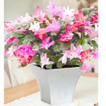 <p>A stunning combination of colours growing in a single pot. Its masses of blooms will last long into the New Year. Supplied in a 9cm pot. Complete with decorative snow-white Elho pot (not pictured).</p>