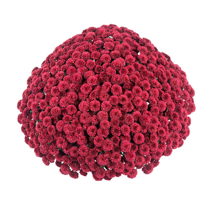 Chrysanthemum Plant - Meridian Red