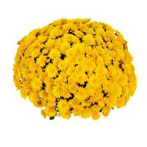 Chrysanthemum Plant - Meridian Yellow