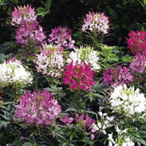 Cleome Plant - Sparkler