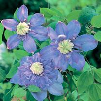 Clematis Plant - Blue Light