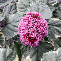 Clerodendrum bungei Plant - Pink Diamond