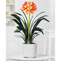 Clivia miniata Plant