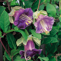 Cobaea Scandens Seeds