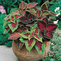 Specially selected by Dobies for it's bright colourful leaf colourings and markings in many colour combinations. Perhaps best known as a house plant,
