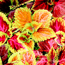 Dont mess with this one a breeding breakthrough has created the king of coleus! The huge beefy plants are fast growing and boast leaves up to 30cm lon