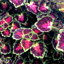 Coleus Plants - Great Falls Angel