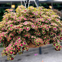 Coleus Plants - Great Falls Angel