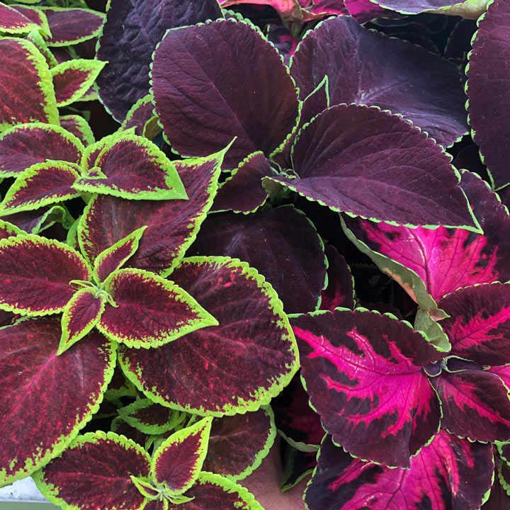 Coleus Plants - Velvet Luxe