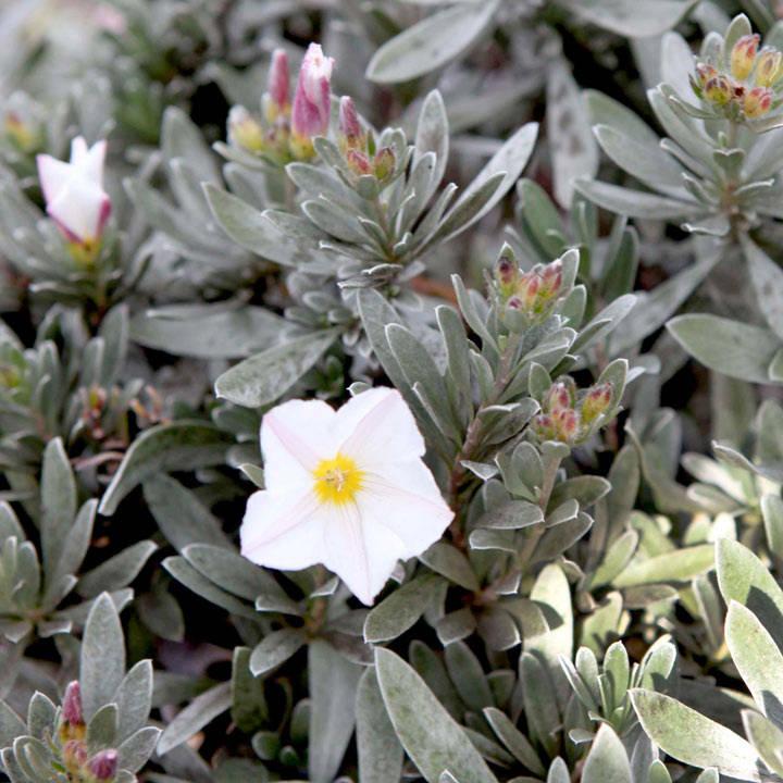 Convolvulus cneorum Plant