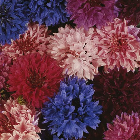 Cornflower Seeds - Tall Double Mixed
