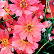 Coreopsis Plants - Rum Punch